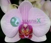 Орхидея Аlice Girl