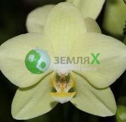 Орхидея Amadeus