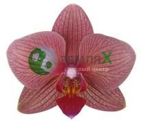 Орхидея Ancona