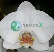Орхидея Apple Blossom