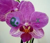 Орхидея Aranca