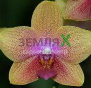 Орхидея Bro Sara Gold