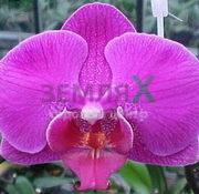 Орхидея Cardinal