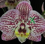 Орхидея Chian Xen Piano