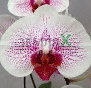 Орхидея Fusheng Mystical Dream