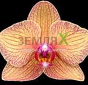 Орхидея Gold Rush