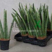 sansevieria-cylindrica-overig