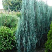 juniperus_scopulorum_blue_arrow