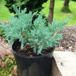 juniperus-horizontalis-blue-chip