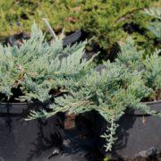 juniperus-horizontalis-blue-forest-c5