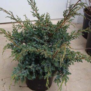 juniperus-chinensis-blue-alps-06