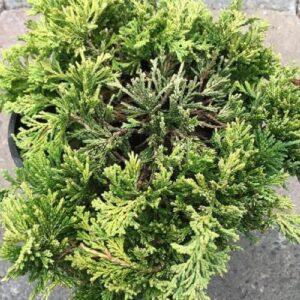 juniperus-horizontalis-mother-lode-1-gal