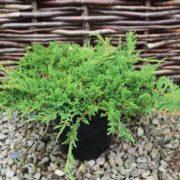 juniperus_horizontalis_prince_of_wales_resized_1