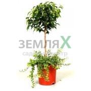 fikus-bendzhamina-natashasanni-shtamb-500x500