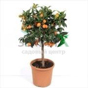 Цитрусовые Kumquat
