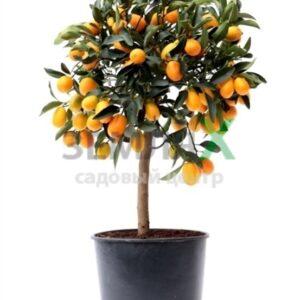 Цитрус Kumquat