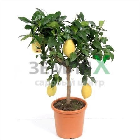 Цитрус Lemon штамб