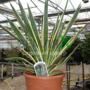 yucca_gloriosa_variegata_7-5_litre_3_