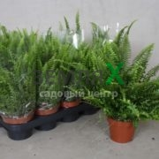 nephrolepis-ex-green-lady