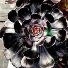 Эониум Black  (Ø 8 см, h 15 см)
