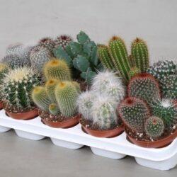 cactus-gemengd