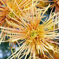 chrysanthemum-symphony-jon-stokes