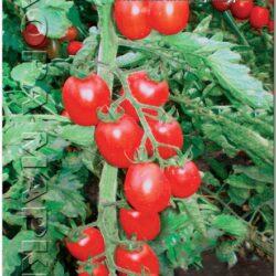 tomat-korolek