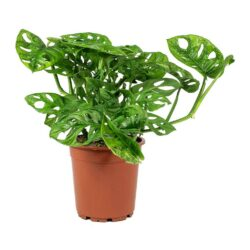 Monstera-adansonii-Philodendron-Monkey-Mask-Large