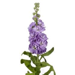 Matthiola Centum Lavender