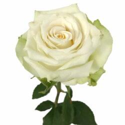 Rose Adalonia