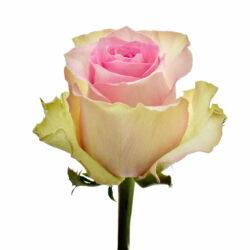 Rose Brigitte Bardot